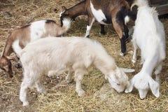 Ein Ziegenbauernhof in unserem Besuch in Mykonos, Griechenland lizenzfreies stockfoto
