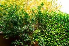 Ein Zitronenbaum im Sommer mit frischen Zitronen Lizenzfreie Stockbilder