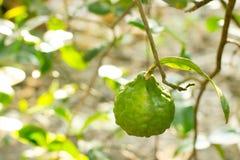 Ein Zitrusfrucht hystrix auf dem Baum im Garten Stockfotografie