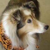 Ein Zobel Merle Shetland Sheepdog auf Halloween Lizenzfreies Stockbild