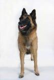 Ein Zucht- Hund Stockfoto