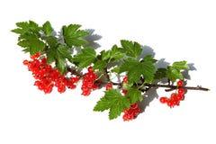 Ein Zweig der roten Johannisbeeren Stockfotos