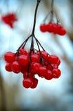 Ein Zweig der roten Viburnumbeeren in der Winterzeit. Lizenzfreie Stockbilder