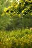 Ein Zweig mit grünen Blättern Stockfotografie