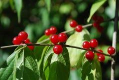 Ein Zweig mit roten Beeren Lizenzfreie Stockfotografie