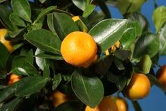 Ein Zweig mit Tangerinen auf einem Baum Lizenzfreie Stockfotos