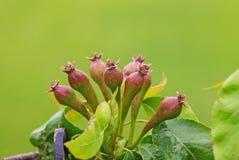 Ein Zweig von jungem Apple Fruitlets Stockfotos