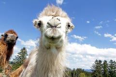Ein zweihöckriges junges Kamel stockfoto