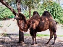 Ein zweihöckriges Kamel steht aus den Grund im Schatten eines Baums an einem sonnigen Tag Stockbild