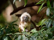 Ein zwergartiger Affe, der mit dem roten Haar und weißem Büschel auf seinem Kopf sitzt unter den Grünblättern auf einem Baum, die Stockbilder