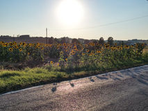 Einde tussen zonnebloemen royalty-vrije stock afbeeldingen