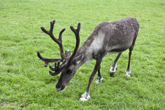 Reindeer grazing in a field on grass Stock Image