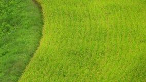 Eindeloze gebieden van rijstspruiten stock foto