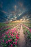 Eindeloze Tulip Field Royalty-vrije Stock Foto