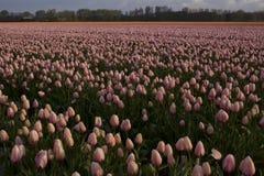 Eindeloze tulpen Stock Foto