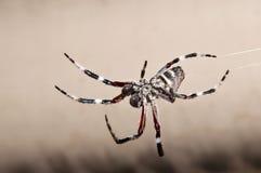 Eindrucksvolle haarige Spinne, die auf seinem Web baumelt Stockbild