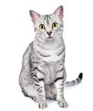 Eine Ägypter Mau Katze-Blicke direkt auf Kamera Lizenzfreie Stockfotografie