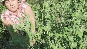 Eine ältere Frau erfasst eine Ernte im Garten, zerreißt weg das reife Gesamtlängenvideo der Erbsenhülsen auf Lager stock footage
