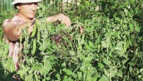 Eine ältere Frau erfasst eine Ernte im Garten, zerreißt weg das reife Gesamtlängenvideo der Erbsenhülsen auf Lager stock video footage