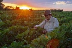 Eine ältere Frau im Sonnenblumenfeld passt den Sonnenuntergang auf stockbilder