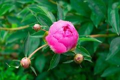 Eine öffnende Knospe einer rosa Pfingstrosenblume mit einem Wassertropfen an stockfoto