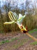 Eine Öffnung Kastanien-Knospe, Aesculus hippocastanum Stockfotos