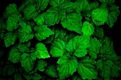 Eine üppige gesunde grüne Patschulipflanzenanlage ist von auf der Herstellung von Farben geregnet werden intensiver naß stockfotos