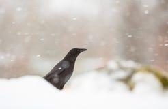 Aas-Krähe in einem Schneesturm Stockbild