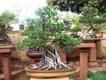 Eine Abbildung eines Bonsaisbaums an botanische Gärten Lizenzfreies Stockbild