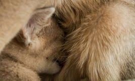 Eine abyssinische Zucht des kleinen Kätzchens trinkt Milch von der Mutterkatze Stockfotografie