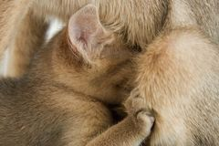 Eine abyssinische Zucht des kleinen Kätzchens trinkt Milch von der Mutterkatze Stockfotos