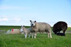 Eine Ackerlandlandschaft in Holland mit Herdenschafen Stockfotografie