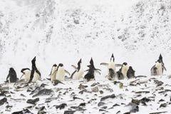 Eine Adelie-Pinguin-Kolonie mit vielen Pinguinen, die ihren Kopf hochhalten Stockfotos