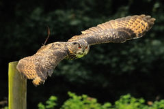 Eine Adler-Eule Lizenzfreie Stockfotos