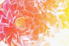Eine Aeonium arboreum Succulentanlage Stockfotos