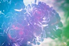 Eine Aeonium arboreum Succulentanlage Stockfoto