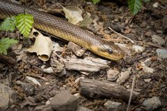 Eine Aesculapian Schlange, die aus den Grund in einem Wald gleitet Lizenzfreie Stockbilder