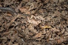 Eine Aesculapian Schlange, die aus den Grund in einem Wald gleitet Stockfotos