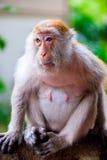 Eine Affefrau sitzt auf einem Baumast Lizenzfreie Stockfotos