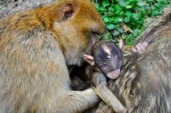 Eine Affemutter mit ihrem Kind Stockbild