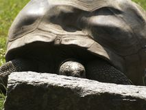 Eine Aldabra-Schildkröte 2 Lizenzfreie Stockbilder