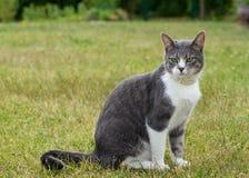 Eine allein graue große Katze, die im Freilicht sitzt und schaut Stockfotografie