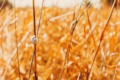 Eine alleine Schnecke, die an einem Grashalm hängt Lizenzfreies Stockbild