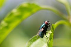 Eine allgemeine europäische greenbottle Fliege hockte auf einem Betriebsblatt Stockbild