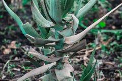 Eine Aloe Vera-Anlage stockfotos