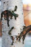 Eine alte Birkenbeschaffenheit Stockfotos