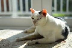 Eine alte blinde Katze Lizenzfreies Stockbild