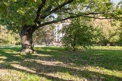 Eine alte Eiche im Yard von Moskau-staatlicher Universität, Russland Stockfotografie
