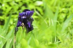 Eine alte purpurrote Blume Lizenzfreies Stockfoto