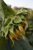 Eine alte Sonnenblume Stockfotos